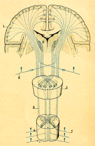 Neurons to the spinal cord cross from one body side to the other. By G. Devy [Public domain or Public domain], via Wikimedia Commons